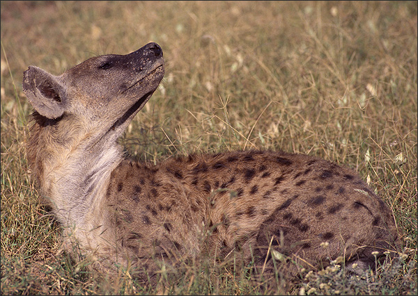Description: Hyena